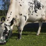 Lapinlehmä Glara osallistuu Farmari-näyttelyssä lehmien missikisoihin.