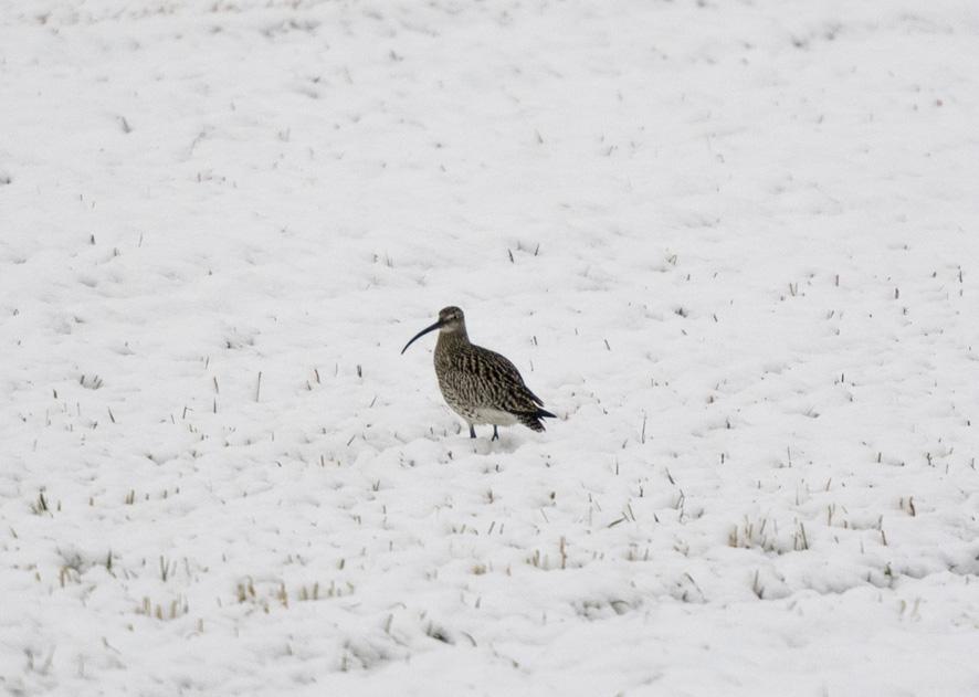 Muuttolinnut värjöttelivät lumisateessa Keikossa keskiviikkoaamuna. Kuva: Aaro Lievonen