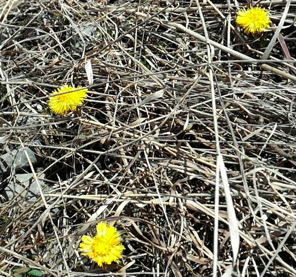 Liperin kirkonkylällä koulun tunneleilla leskenlehdet puhkesivat keskiviikkona kukkaan.