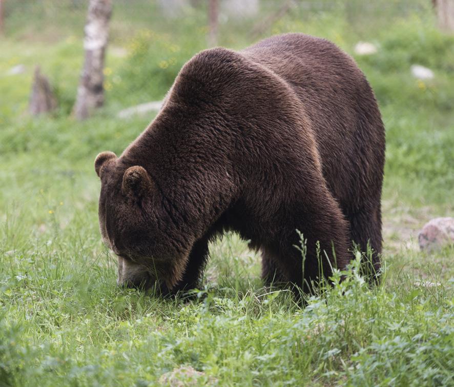 Karhuhavaintoja tehdään mitä moninaisimmissa paikoissa. Kuva: Aaro Lievonen