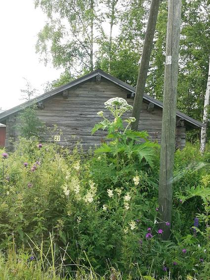 Kuvan jättiputki on poistettu heinäkuun lopulla Mattisenlahdesta. Kuva: Outi Martikainen