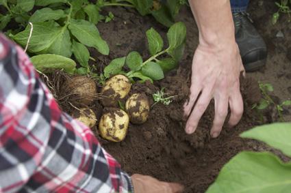 Ville Hirvonen ja Asko Seppänen tarkastelevat perunoiden kokoa. Hirvosen perunatilalla alettiin tällä viikolla nostaa varhaisperunaa. Timoa seuraa Colomba, ja siitä pikkuhiljaa muut syys- ja talvilajikkeet yksi toisensa jälkeen.