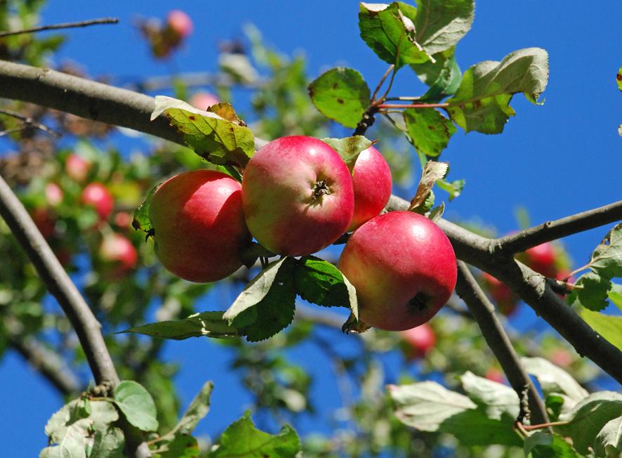 Omenasatoa kerätään parhaillaan.