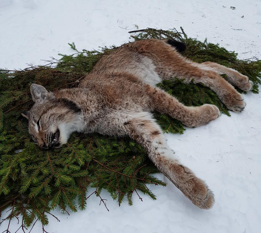Rääkkylän ensimmäinen metsästetty ilves oli uros. Kuva: Joonas Mutanen.