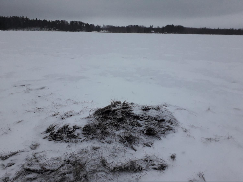 Rääkkylässä sijaitsevan Salkosaaren läheisyyteen hukkuneesta hirvestä ei näy jäälle kuin hieman selkäkarvoja. Kuva: Yrjö Eronen