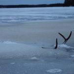 Vain sarvet ja hieman selkäkarvoja näkyi jäiden sekaan hukkuneesta hirvestä. Kuva: Kirsi Tolvanen.