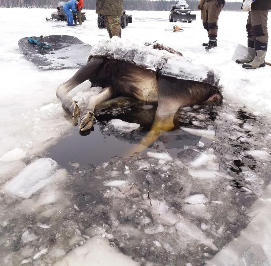 Naarashirvi oli mahaansa myöten jäätynyt.