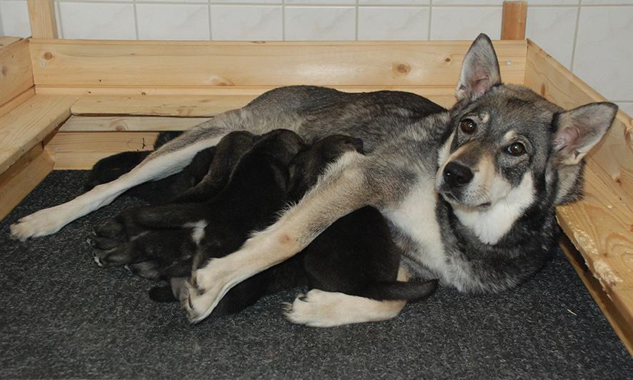 Yksi Onnivaaran Xanin pennuista saa kesän alussa uuden kodin nuoren metsästäjän luota. Jahti-pentu lahjoitetaan innottamaan eränkävijäksi ja tuomaan tutuksi koiran kanssa metsästämistä.
