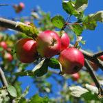 Omenaiset puut piristävät pian Rääkkylän katukuvaa.